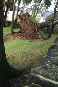 Tree down in St Giles church grounds, roots showing. Picture by Ben Franklin