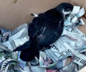 Recent visitor: The Manx shearwater was blown away by strong winds