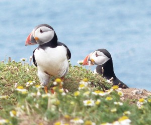 Extra protection: Puffins, Manx shear-waters, Guillemots and Razorbills
