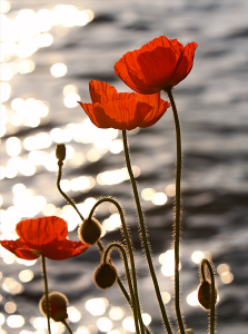 Poppies_in_the_Sunset_on_Lake_Geneva