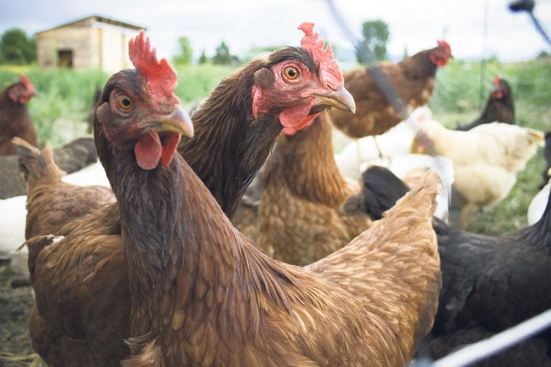 Getting to grips with poultry: Farmers get hands on with hens at Llanelwedd