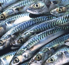 No more discard: all mackerel caught must be landed from January 1