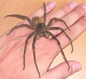 Unwanted tourists: spider invasions in Wales