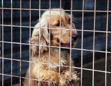 Cruel practices: New regulations target puppy farms .