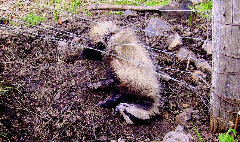 Caught in a trap: An illegally snared badger