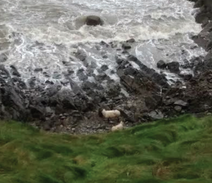 Stranded: The ewes had to be rescued by the RSPCA