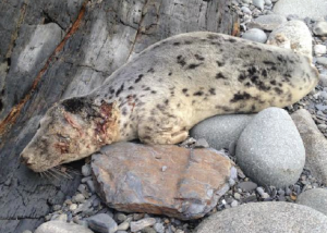 Wounded: The injured seal was rescued near Whitesands, St Davids