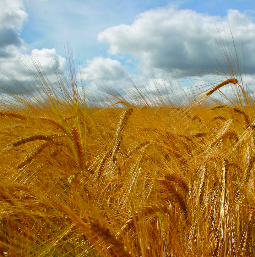 Barley: Discovery could aid developing countries