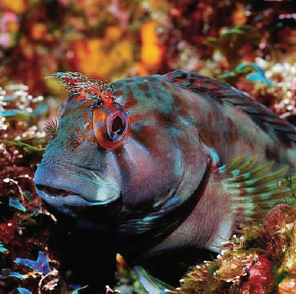 Portuguese Blenny: Similar to its cousin, the Tompot Blenny