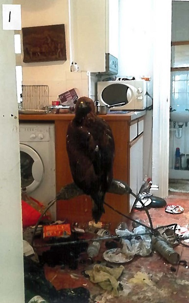 Golden eagle: Found in the kitchen