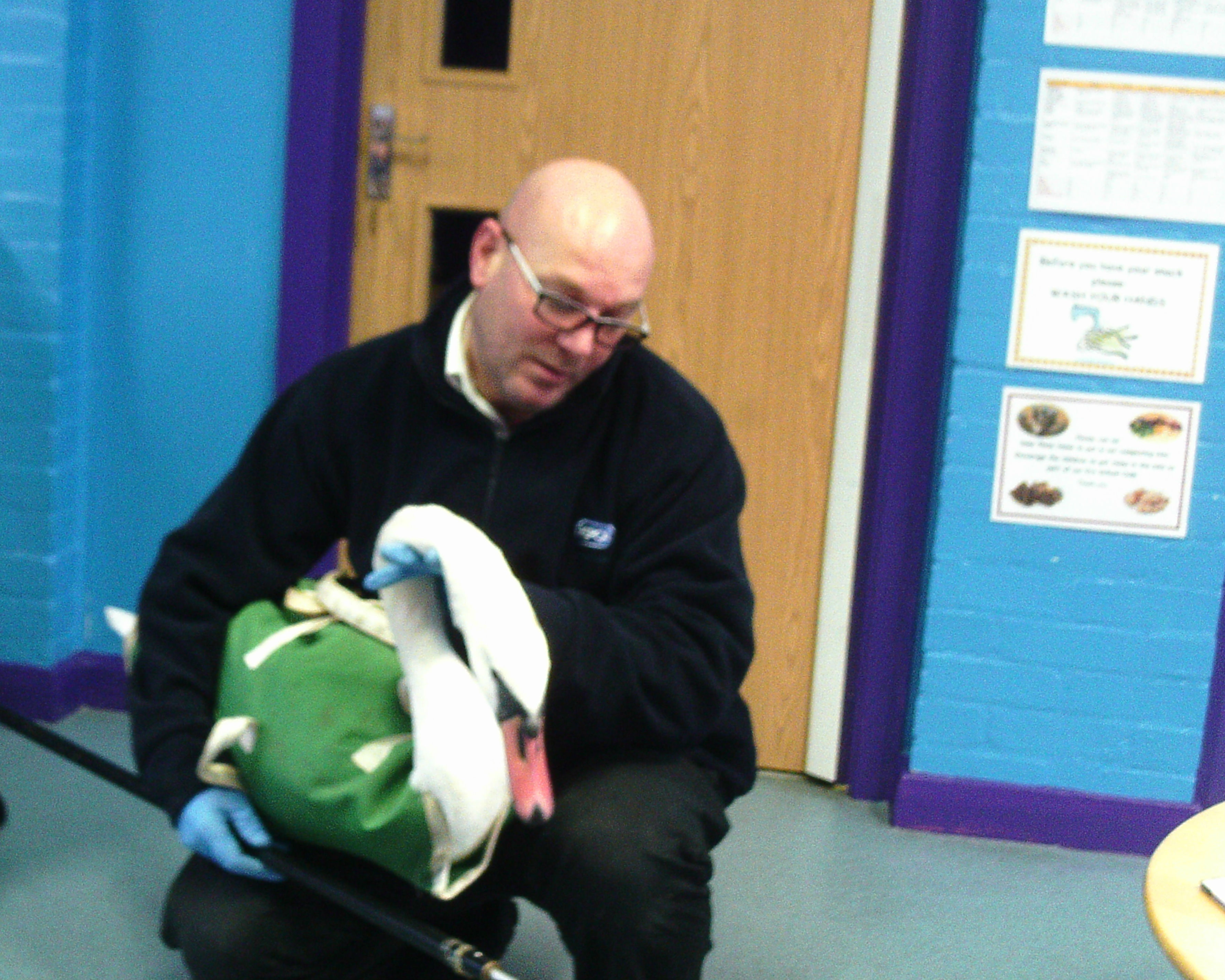 Rescued: The swan with the RSPCA